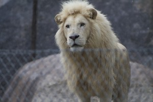 Captive Male White Lion
