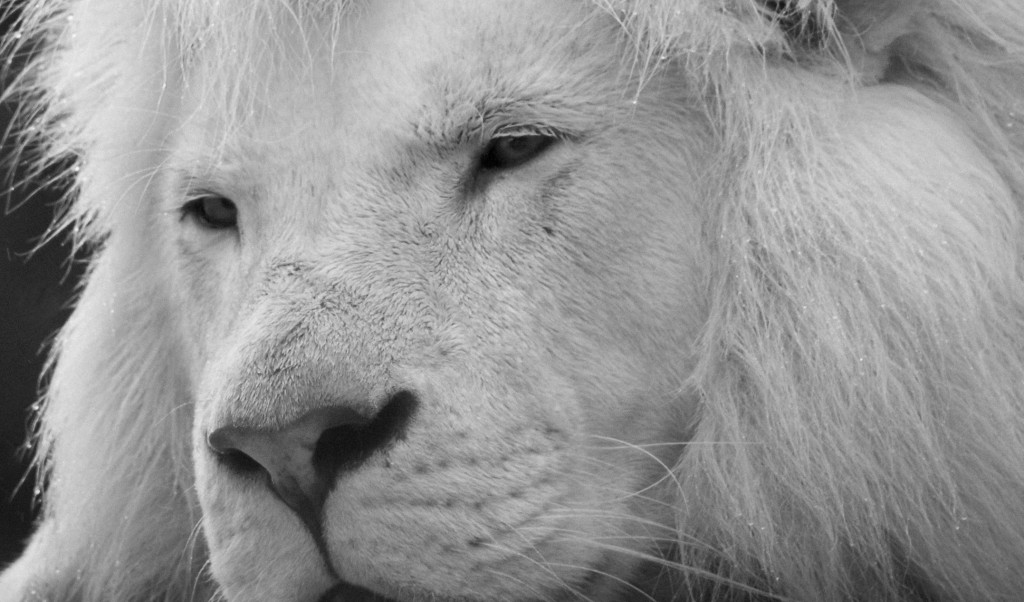 Intense Gaze of the White Lion