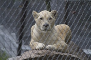 Captive Female White Lion